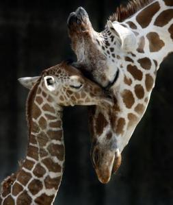 cute girafe